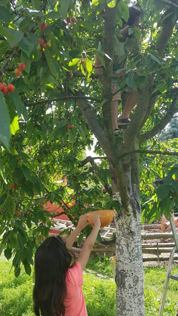 Kirschen im Frühling ernten, wegen heißem Wetter schon am 20.Juni 2021