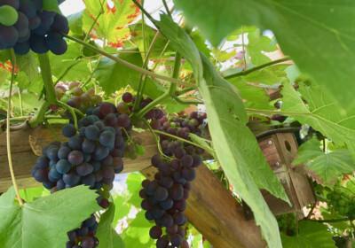 Dortmunder Weintrauben sind am 20. August 2021 reif für die Ernte